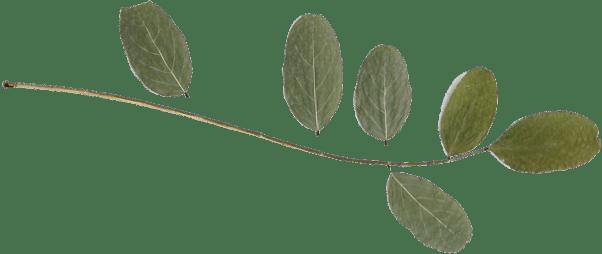 Img leaf